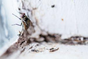 Un remède naturel pour faire fuir les mouches